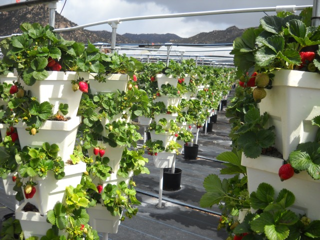 Rows of hydroponically grown Strawberries.