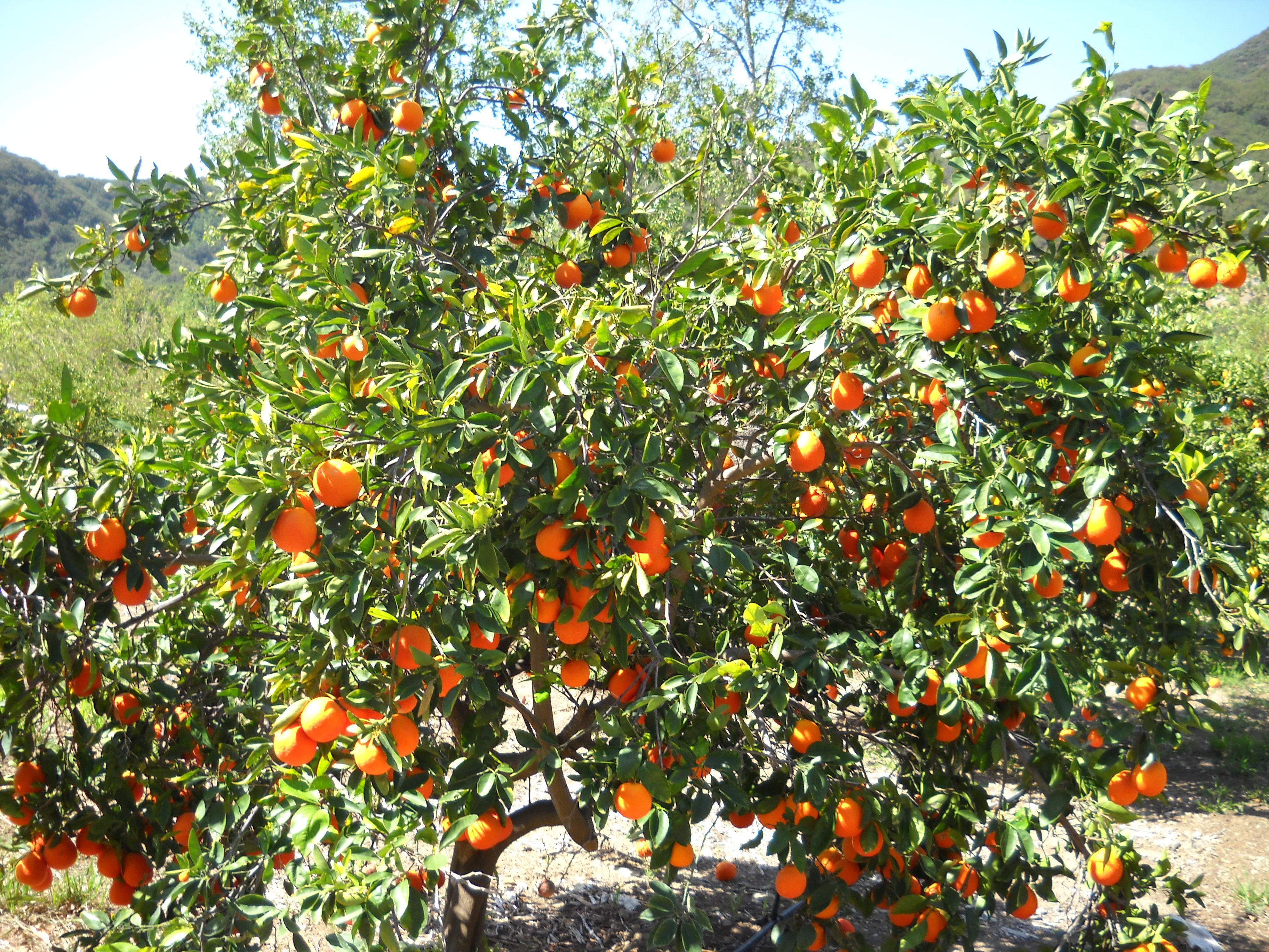 Photo by Danielle of Look Pretty. Minneola Tangelo Tree. Beautiful ...