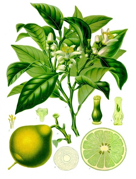 The bergamot; believed to be a cross between the sweet lemon or was lime? and sour orange.