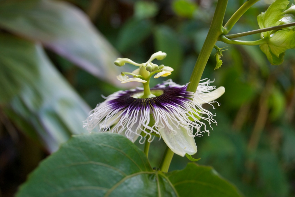 Passionfruit Flower.