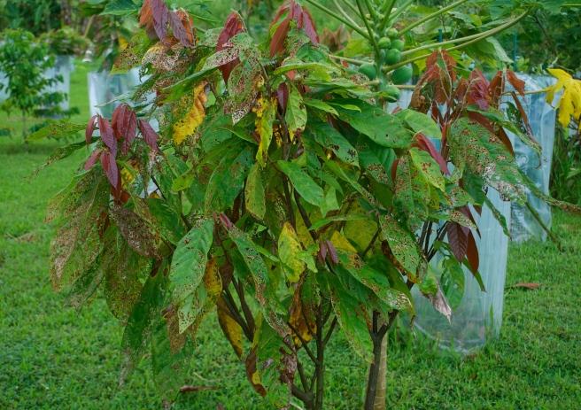 Baby Cacao Tree